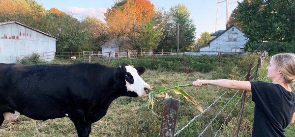 libby-cow
